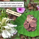 <b>Edible Weed Walk - ep.42 No need for GM</b>