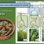 <b>Audible Weed Walk - ep. 46 Get to know some wild weedy C4 plants</b>