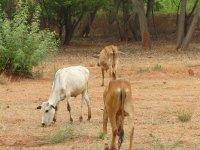 Photographer: | Des vaches sacr?©es