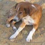 Indian dog