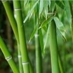 <b>Exploring Bamboo</b>