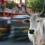 <b>Pourquoi les vaches sont sacrées?</b>