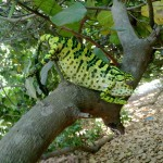 Camelion in the cashew tree