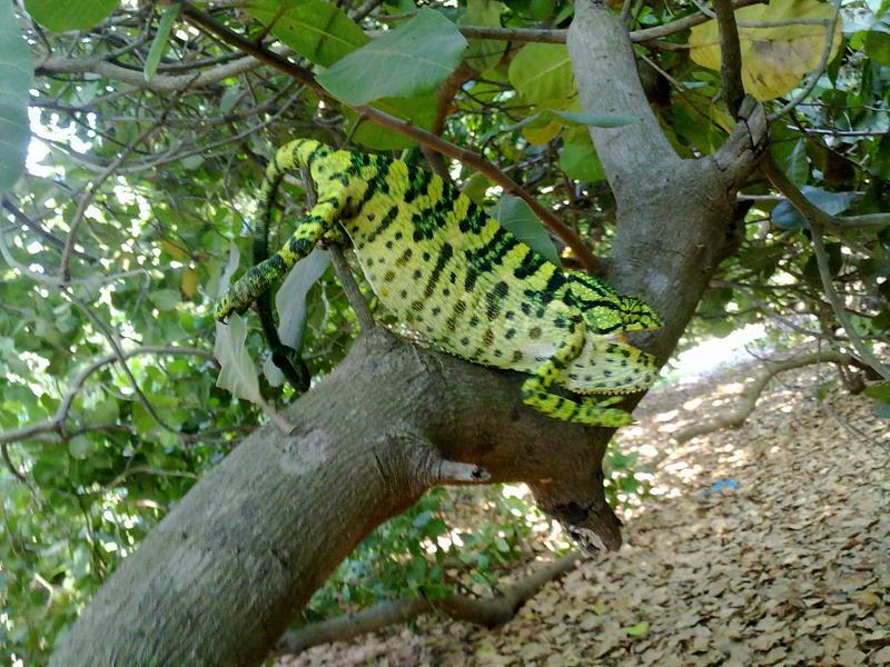 Photographer:Kireet / Andrea | Camelion in the cashew tree