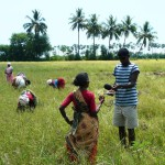 Rice field recording