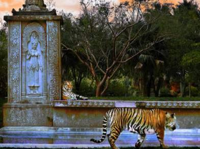 Photographer:World web | Tigers at Temple