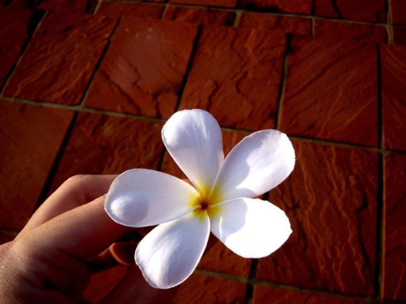 Photographer:Chloé | Fleur de frangipanier