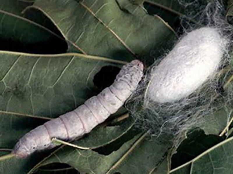 Photographer:Internet   Silk worm