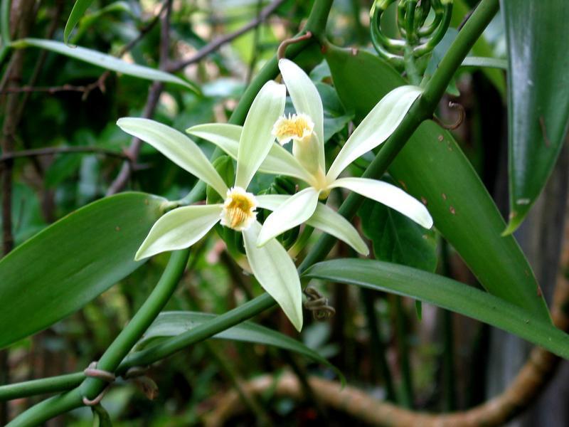 Photographer:World web   Vanilla orchid