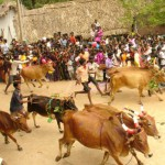 Cows' race for Pongal