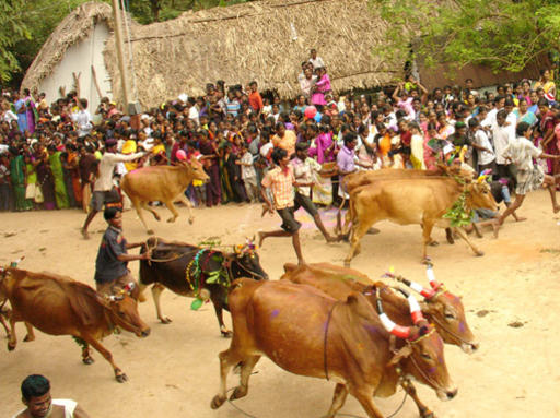 Photographer:Internet | Cows' race for Pongal