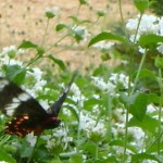 After This Morning Rain - all the butterflies came out