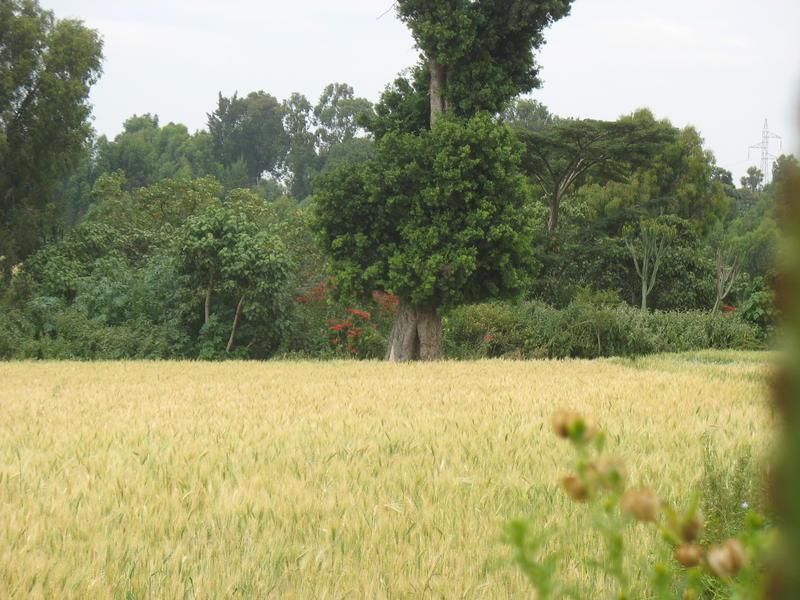 Photographer:Miriam | Weath field in Shashemene