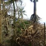 Uprooted Buganvilla