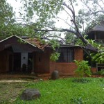 The mother-tree after the cyclone