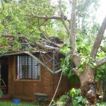 The mother-tree after the cyclone 2