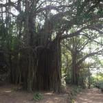 Holy tree in Arambol, Goa