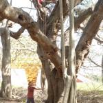 Matrimandir Banyan tree
