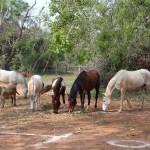 Horses at Deashakti Spotrs Ground
