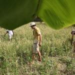 <b>Harvesting Rice at Solitude</b>
