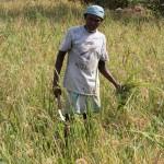 Rice Harvest Solitude