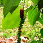 Pepper plant in Nathalie's garden