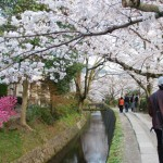 The Philosopher Path in Kyoto - Cherry Trees Blossoming