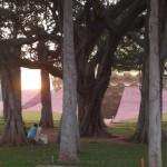 Banyan tree at Matrimandir