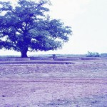The banyan near the Matrimandir Amphitheatre at the end of the 60'.