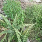 Aloe vera and other medicinal plants