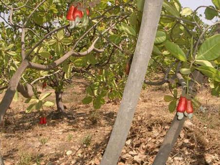 Photographer:web | Auroannam Farm cashew trees