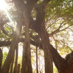 <b>Banyan Tree Meditation, GM</b>