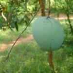 AV garden mango