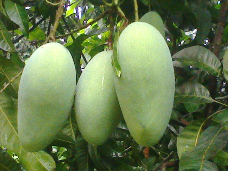 Photographer:web   green mango