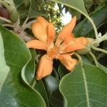 Supramentalised Psychological Perfection (Michelia champaca)