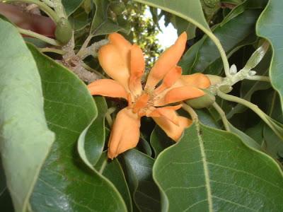 Photographer:www.blossomlikeaflower.com | Supramentalised Psychological Perfection (Michelia champaca)