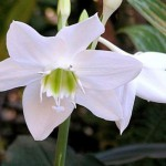 Light without Obscurity-Eucharis Xgrandiflora
