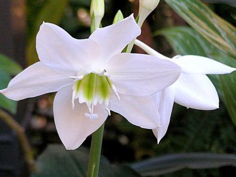 Photographer:http://www.blossomlikeaflower.com | Light without Obscurity-Eucharis Xgrandiflora