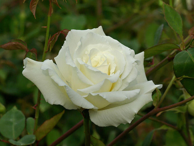 Photographer:http://www.blossomlikeaflower.com   Integral Love for the Divine (Rosa)