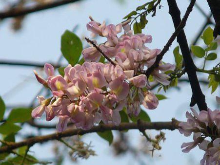 Photographer:http://www.blossomlikeaflower.com | Refinement of Habits (Gliricidia sepium)