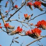 Matter Prepares Itself to Receive the Supramental (Erythrina variegata)
