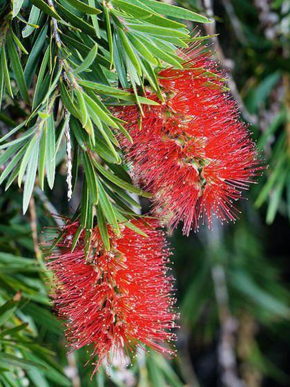 Photographer:http://www.blossomlikeaflower.com | Joy of Vegetal Nature in Answer to the New Light (Callistemon)