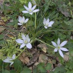 Beauty in Collective Simplicity (Ornithogalum umbellatum)
