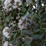 Aspiration for the Divine Consciousness (Vernonia eleagnaefolia)