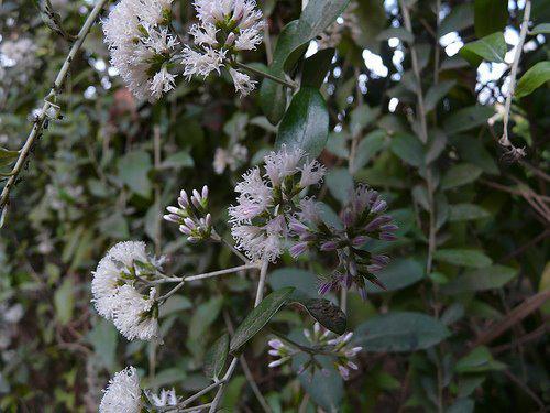 Photographer:http://www.blossomlikeaflower.com | Aspiration for the Divine Consciousness (Vernonia eleagnaefolia)