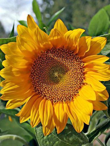 Photographer:http://www.blossomlikeaflower.com | Consciousness turned towards the Supramental Light (Helianthus)