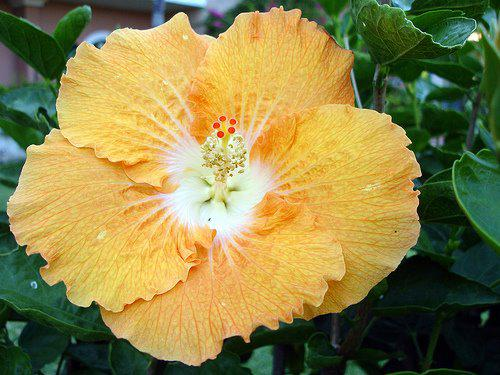 Photographer:http://www.blossomlikeaflower.com/ | Sweetness of Power Surrendered to the Divine / Sweetness of Auroville-(Hibiscus)