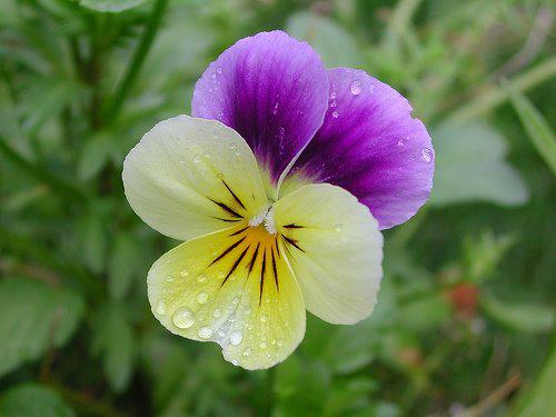 Photographer:http://www.blossomlikeaflower.com/ | Thoughts Turned towards the Divine (Viola X Wittrockiana)