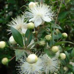 To Live Only For the Divine (Myrtus communis)