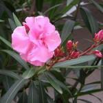 Surrender of All Falsehood (Nerium oleander)